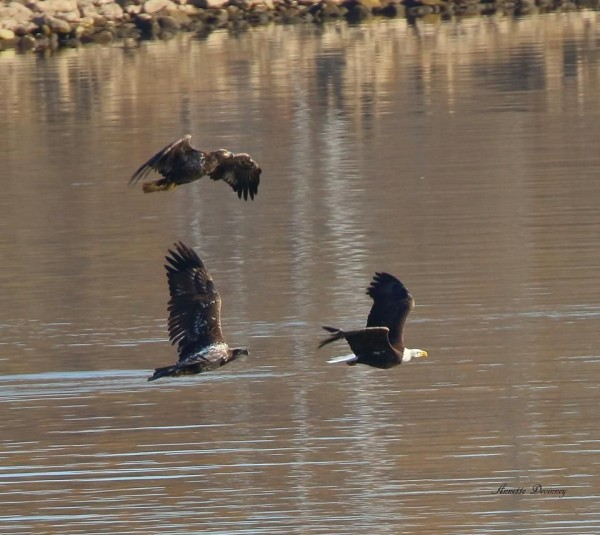 Three bald eagles, chasing at Conowingo, Nov 2016 (photo by Annette Devinney)