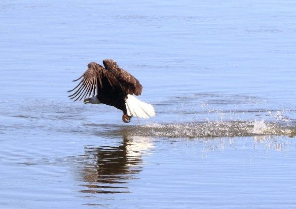 Bald eagle at Conowingo (photo by Annette Devinney)
