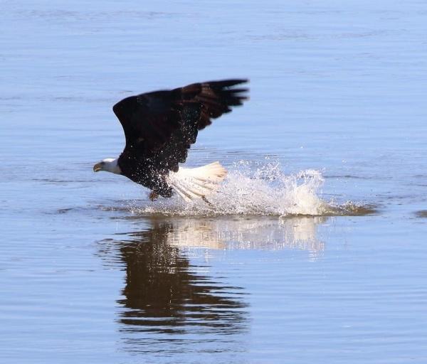 Bald eagle at Conowingo (photo by Annette Devinney)