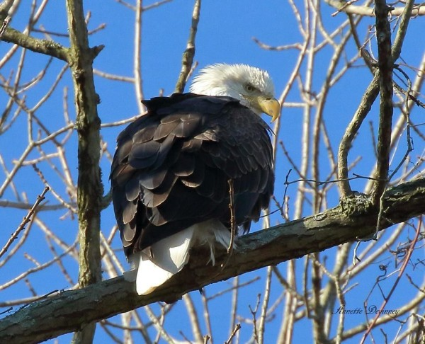 Bald Eagle at Conowingo, Nov 2016 (photo by Annette Devinney)