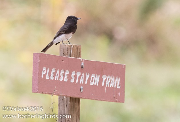 Black phoebe (photo by Steve Valasek)