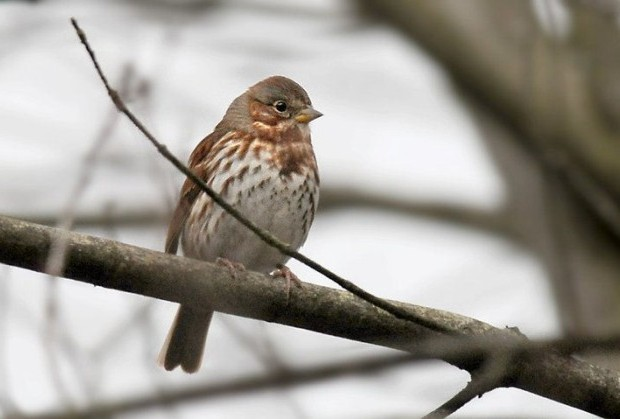 Fox sparrow (photo by Steve Gosser)