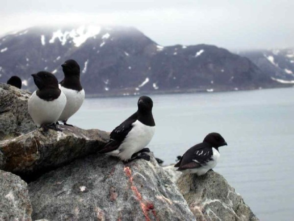 Little auks (Alle alle) at Svalbard breeding colony (photo from Wikimedia Commons)