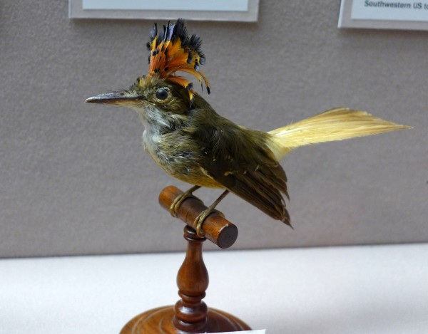 Royal flycatcher, female, Bird Hall at Carnegie Museum of Natural History (photo by Kate St.John)