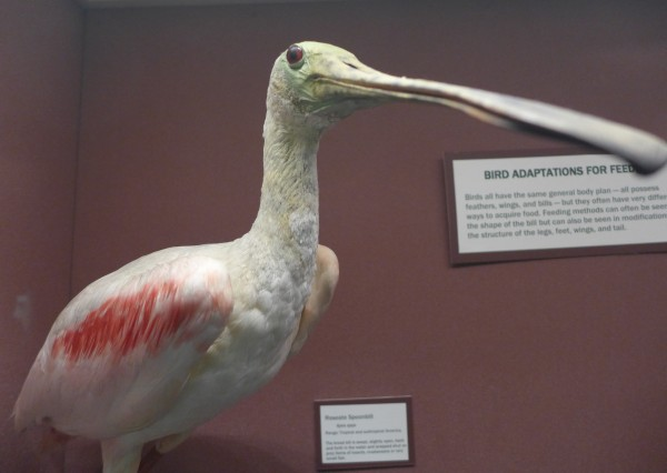 Roseate spoonbill in Bird Hall, Carnegie Museum of Natural History (photo by Kate St. John)