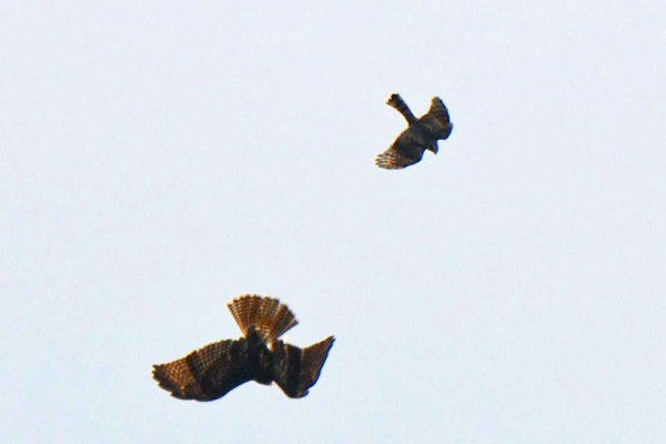 Sharp-shinned hawk attacks a red-tailed hawk on migration, 1 Nov 2016 (photo by Donna Foyle)