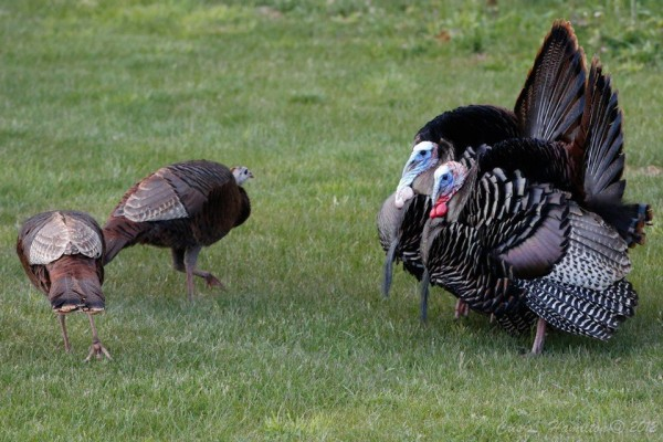 Two male turkeys try to impress two ladies (photo by Cris Hamilton)