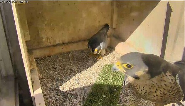 Unidentified female peregrine courting with Terzo at Cathedral of Learning, 11 Nov 2016 (photo from the National Aviary falconcam at Univ of Pittsburgh)