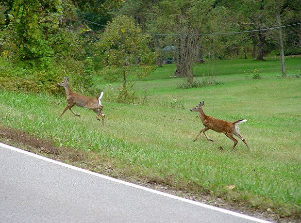 Deer spooked near the road (photo by Mike Tewkesbury, Creative Commons license via Flickr)