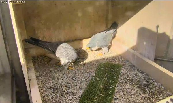 Hope and Terzo bow at the Pitt nest, 11/22/2016, 12:12pm (photo from the National Aviary falconcam at Univ of Pittsburgh)
