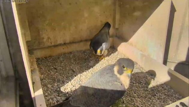 Unidentified female peregrine with Terzo, 11 Nov 2016 (photo from the National Aviary falconcam at Univ of Pittsburgh)