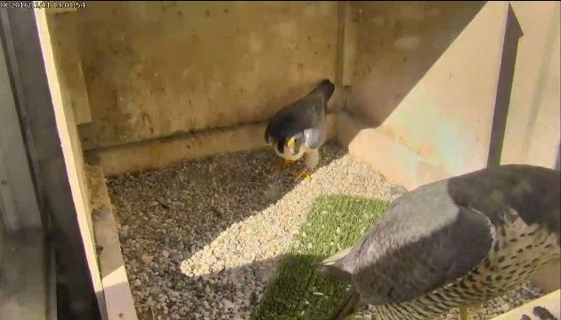 Unbanded female peregrine with Terzo, 11 Nov 2016 (photo from the National Aviary falconcam at Univ of Pittsburgh)