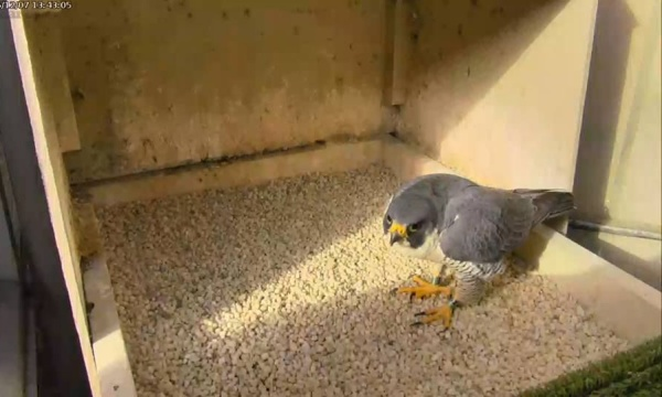 Hope visits the refurbished nest box at the Cathedral of Learning (photo from the National Aviary falconcam at Univ of Pittsburgh)