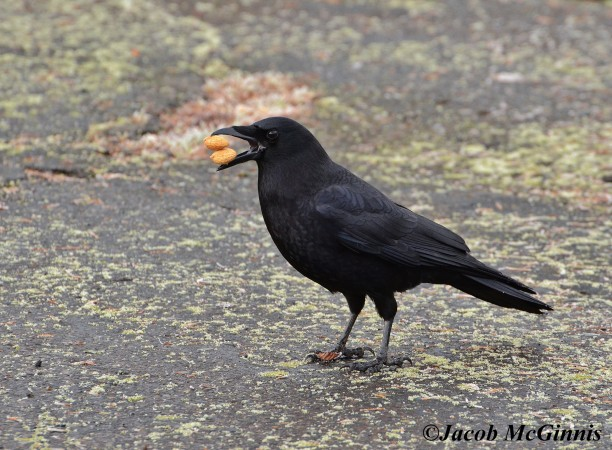 American crow carrying two peanuts (photo by Jacob McGinnis)
