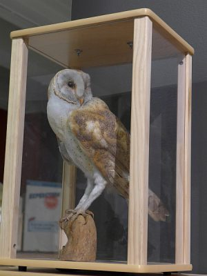 Barn owl taxidermy mount in case, Carnegie Museum (photo by Kate St.John)