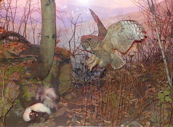 Great horned owl about to capture a skunk, diorama at Carnegie Museum (photo by Kate St.John)