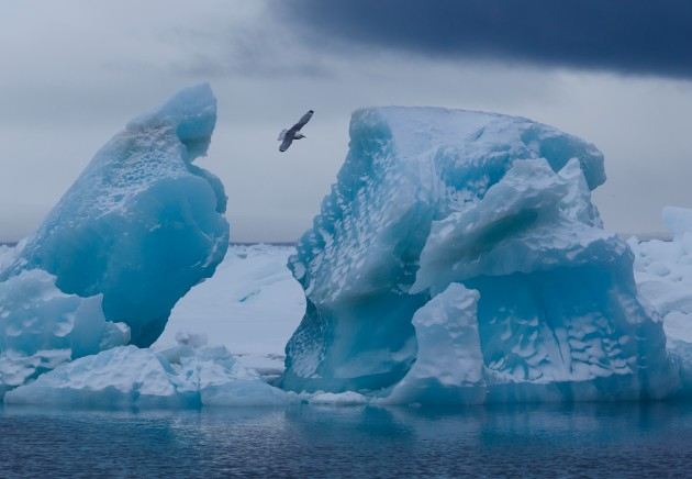 What bird is flying over the iceberg in Franz Josef Land? (photo from Wikimedia Commons)