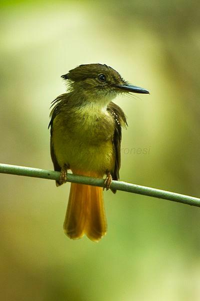 Royal flycatcher, Rio Tigre, Costa Rica (photo by Francesco Veronesi from Wikimedia Commons)