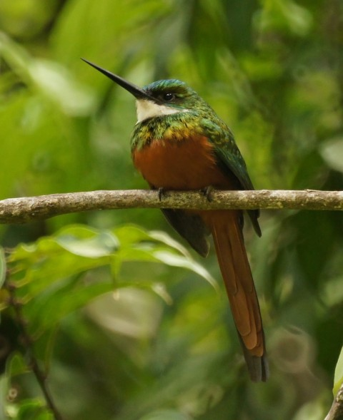 Rufous-tailed jacamar, male (photo from Wikimedia Commons)