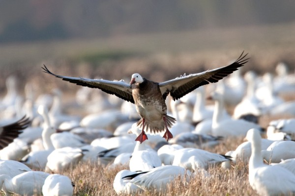 "A dark colored snow goose, called a ""blue goose,"" comes in for a landing (photo from USFW via Wikimedia Commons)"