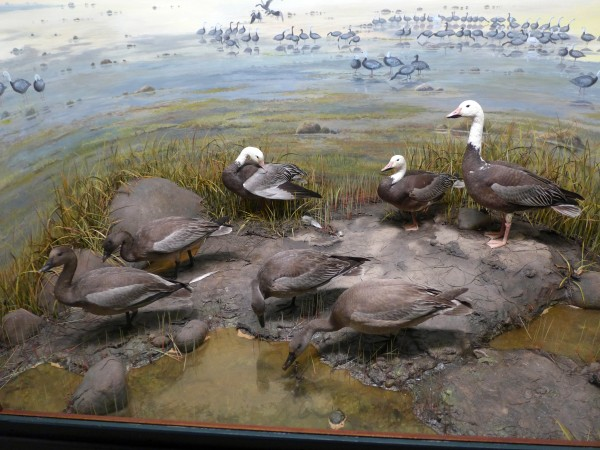 The Blue Goose diorama at Carnegie Museum (photo by Kate St. John)