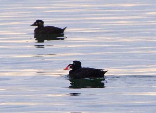 Surf scoters, female in background, male in front (photo from Wikimedia Commons)