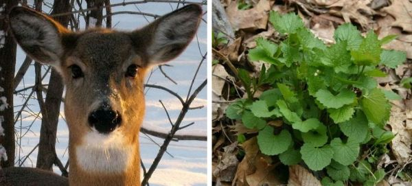 Deer and garlic mustard (deer photo from Wikimedia Commons, garlic mustard photo by Kate St.John)