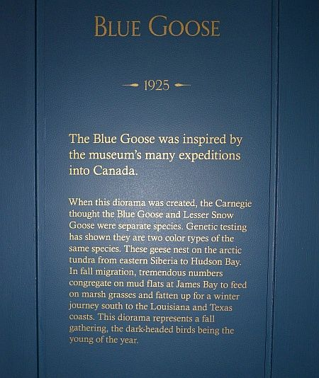 Blue Goose Diorama explanation (photo by Kate St.John)