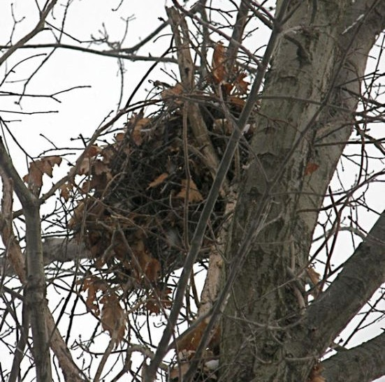 Gray squirrel nest (photo by Marcy Cunkelman)