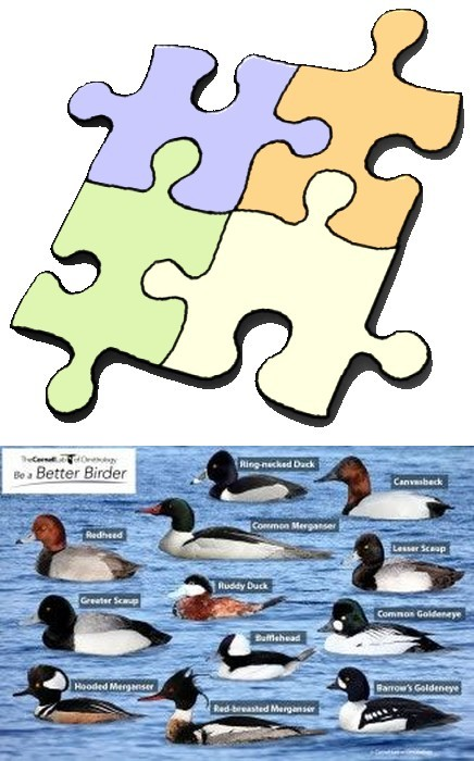 Diving Ducks puzzle, preview and pieces (All About Birds Academy)