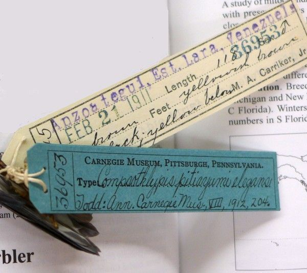 Tags on Tropical parula specimen #36953, elegans holotype, Carnegie Museum (photo by Kate St. John)