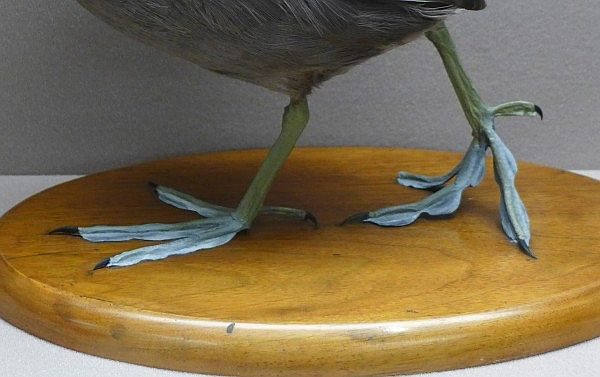 Close up of feet on an American coot, Bird Hall Carnegie Museum (photo by Kate St.John)