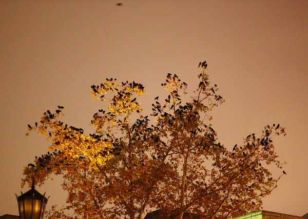 Crows in a tree on Thackeray (photo by Peter Bell)