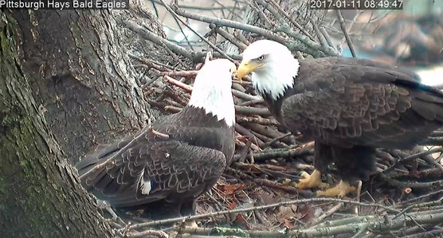 Bald eagle pair at their nest in Hays, 11 Jan 2017 (photo from the Hays Eaglcam thanks to PixController and ASWP)