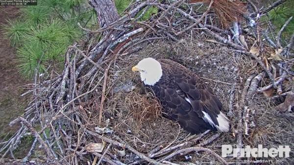 Screenshot from Southwest Florida eaglecam