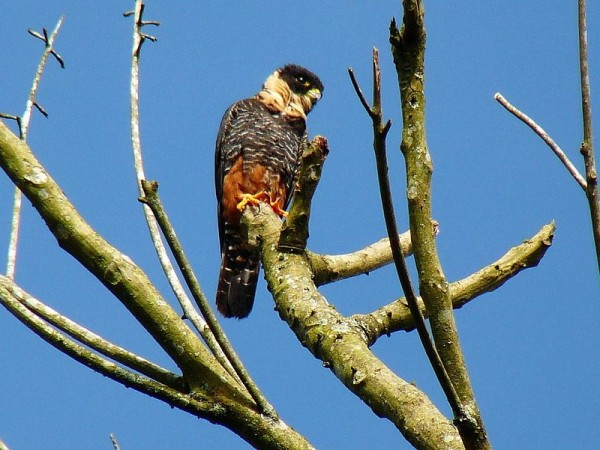Bat falcon in Colombia (photo from Wikimedia Commons)