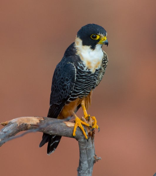 Bat falcon (photo by Joao Quental via Wikimedia Commons)