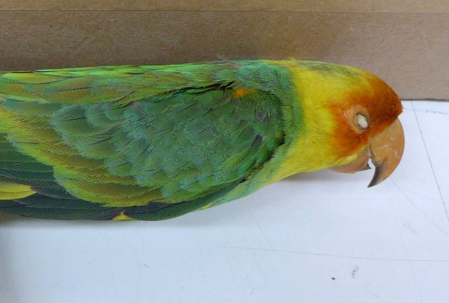 Carolina parakeet specimen #2513, Carnegie Museum (photo by Kate St. John)