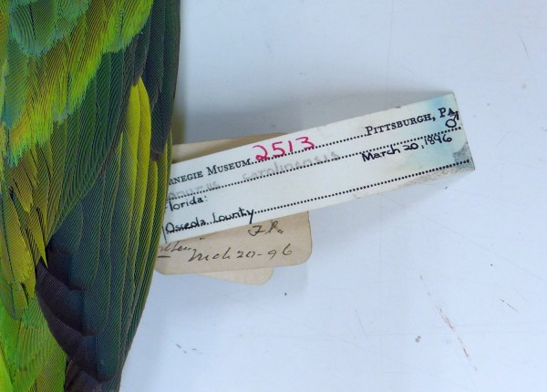 Carolina parakeet specimen tag #2513, Carnegie Museum (photo by Kate St. John)