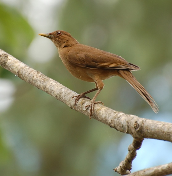Clay-colored thrush, the National Bird of Costa Rica, in Garita, Alajuela, Costa Rica (photo by Greg Gilbert via Wikimedia Commons)