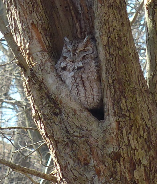 Eastern screech-owl, Schenley Park (photo by Kate St. John)