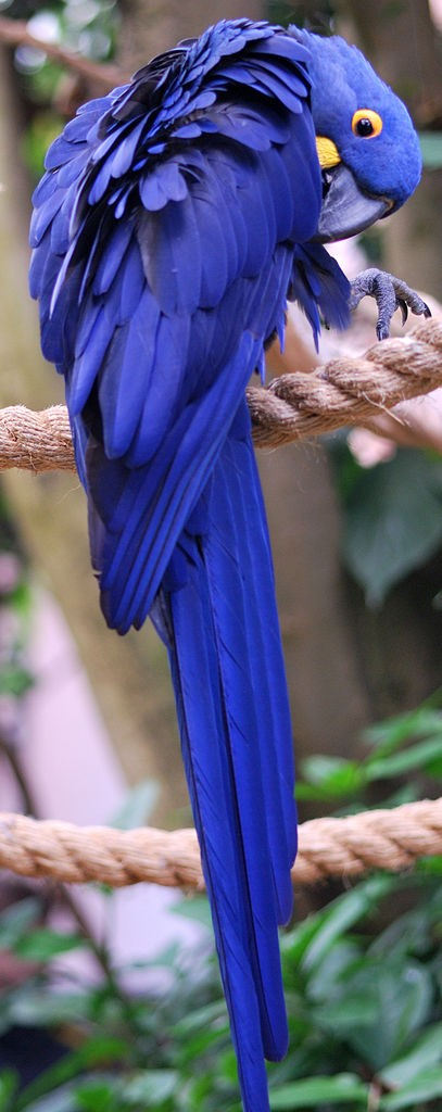 Hyacinth macaw at the National Aviary in Pittsburgh (photo by Christopher Westfield via Wikimedia Commons)