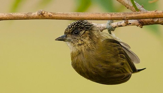 Olivaceous piculet (photo by Neil Orlando Diaz Martinez, Bogotá, Colombia via Wikimedia Commons)