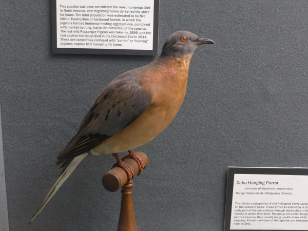 Passenger pigeon, Bird Hall at Carnegie Museum (photo by Kate St. John)