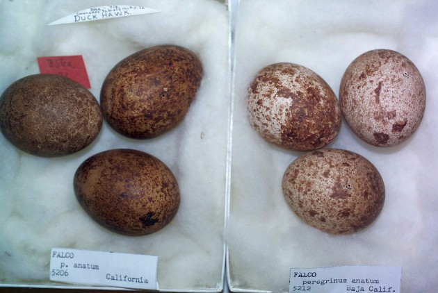 Two specimens, Peregrine Falcon egg clutches, anatum subspecies, Carnegie Museum (photo by Steve Rogers)