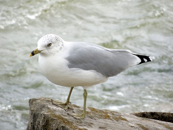 Ring-billed gull in non-breeding plumage, Lake Erie, Ohio (photo from Wikimedia Commons)