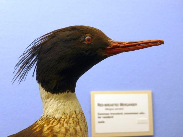 Red-breasted merganser specimen, Carnegie Museum Bird Hall (photo by Kate St.John)