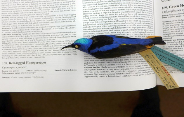 Type specimen of Cyanerpes cyaneus holti, placed on his page in Handbook of the Birds of the World (photo by Kate St. John)