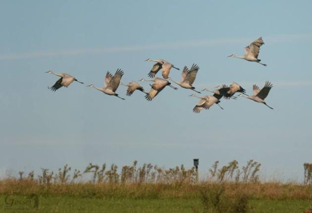 Sandhill cranes in western Pennsylvania, 2015 (photo by Steve Gosser)