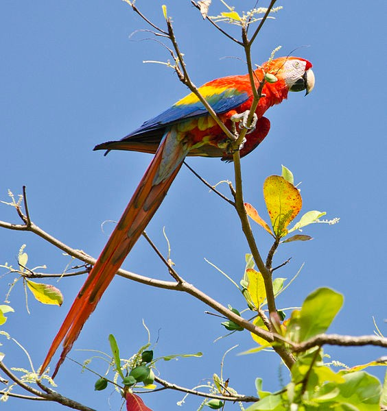 Scarlet macaw in Puntarenas Province, Costa Rica (photo from Wikimedia Commons)